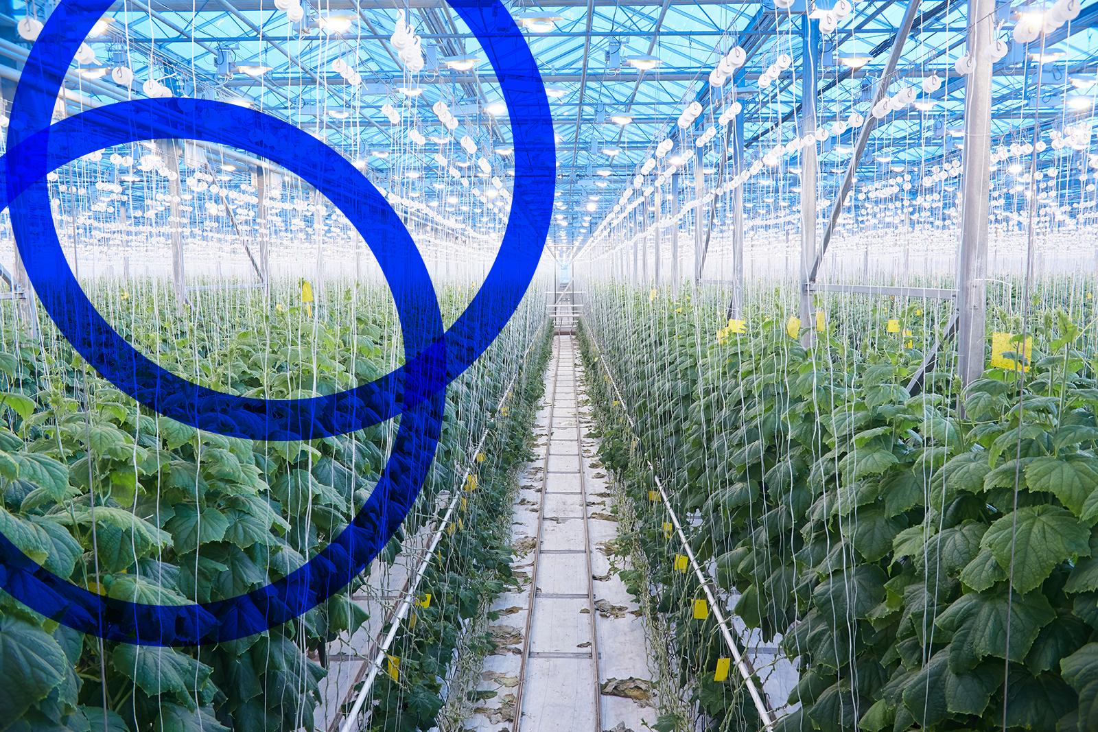 Cucumbers in Greenhouse